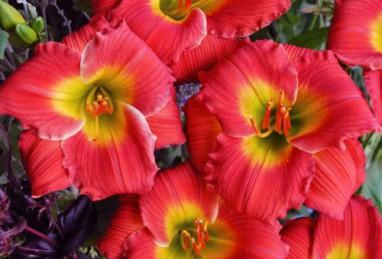 Hemerocallis Red Hot Returns