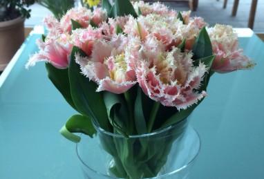 Tulpe Queensland