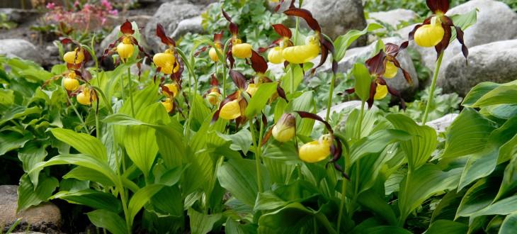 Gartenorchideen der Extraklasse