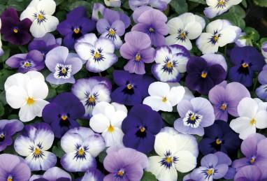 Viola cornuta Twix F1-Serie