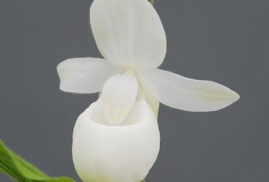 Cypripedium reginae alba